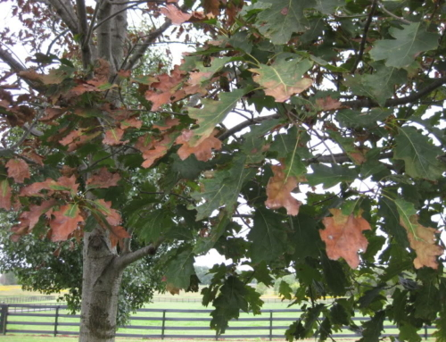 Treat Your Oak Wilt Before It's Too Late